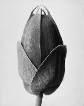 karl-blossfeldt-plant-portraits-passionsblume-passion-flower